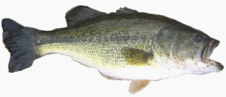 Largemouth Bass - FishingInfo.co.za