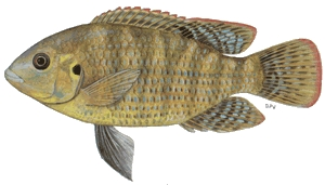 Banded Tilapia - FishingInfo.co.za