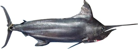 Black Marlin - FishingInfo.co.za