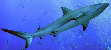 Blacktip Shark - FishingInfo.co.za
