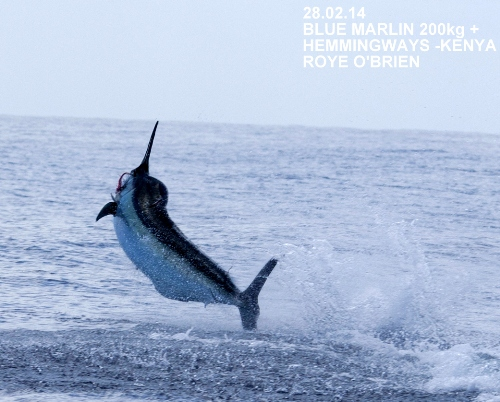 Blue Marlin On!