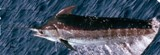 Blue Marlin - FishingInfo.co.za