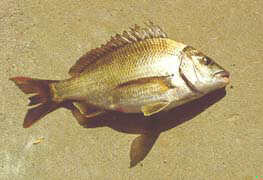 Bronze Bream - FishingInfo.co.za