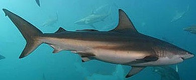 Copper Shark - FishingInfo.co.za