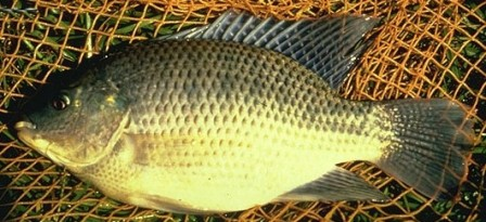 Israeli Tilapia - FishingInfo.co.za
