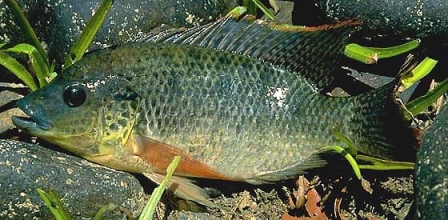 Mozambique Tilapia - FishingInfo.co.za