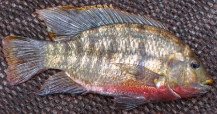 Redbreast Tilapia - FishingInfo.co.za