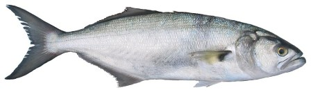 Shad - FishingInfo.co.za