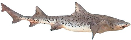 Spotted Gully Shark - FishingInfo.co.za